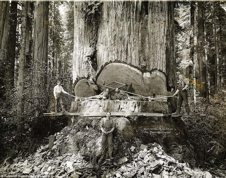1800년대 중반 촬영 된 벌목 중