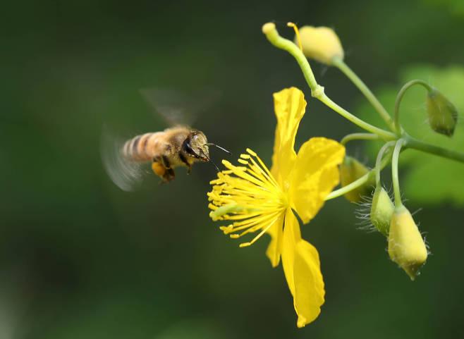 애기똥풀의 꽃과 꿀벌..jpg