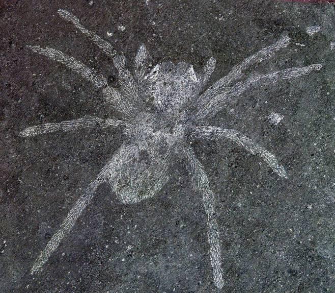 망막 안에 반사판(흰 부분)을 갖춰 어두운 밤에 활발히 사냥했을 것으로 추정되는 백악기 초 한반도 남부에 서식했던 거미의 화석. 코리아메곱스 삼식아이1.jpg