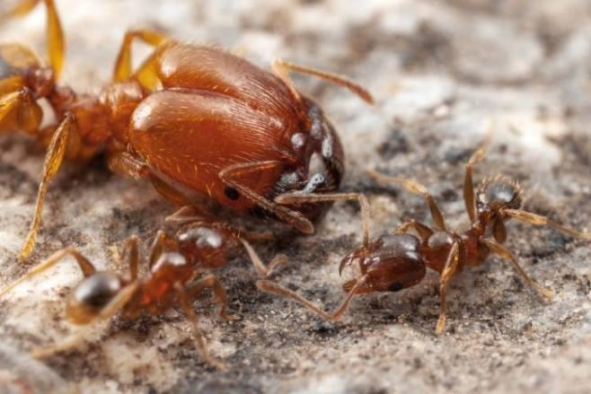 머리가 크게 발달한 군대 개미