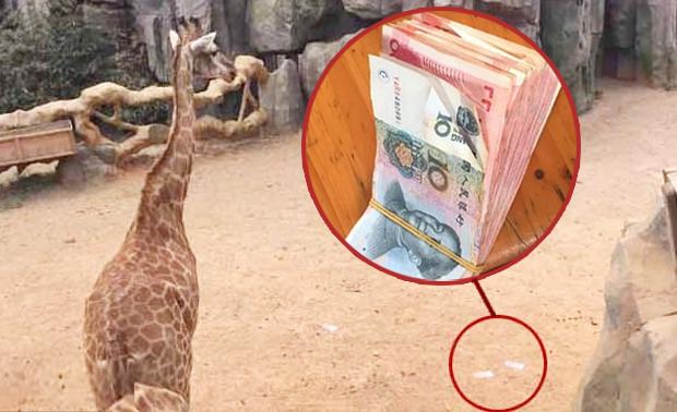 중국 동물원서 기린 우리에 현